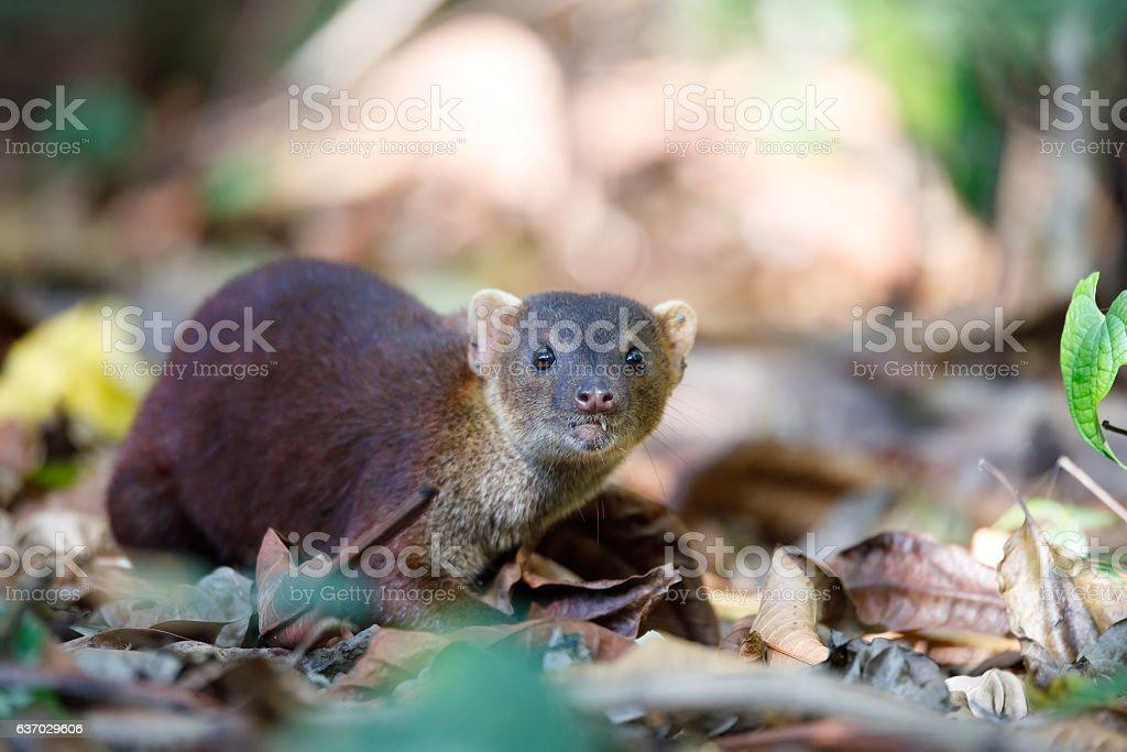 Ring-tailed mongoose (Galidia elegans) Madagascar stock photo
