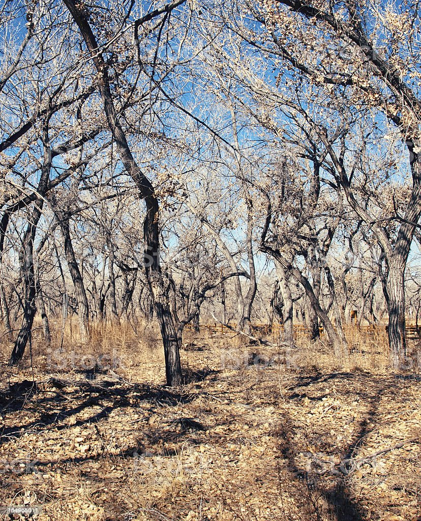 Rio Grande Bosque Forest in Late Fall royalty-free stock photo