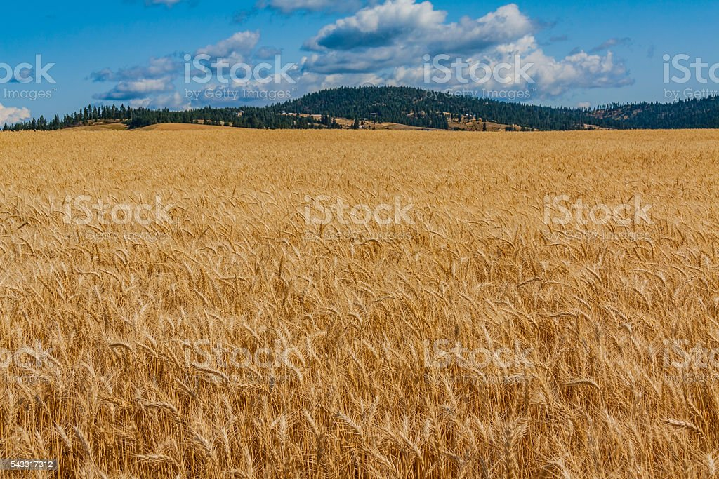 Rip Wheat Field Ready For Harvest stock photo