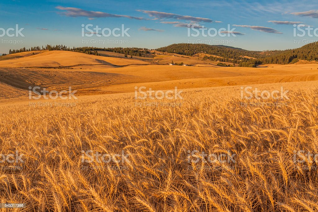 Rip Wheat Field Ready For Harvest, Washington stock photo