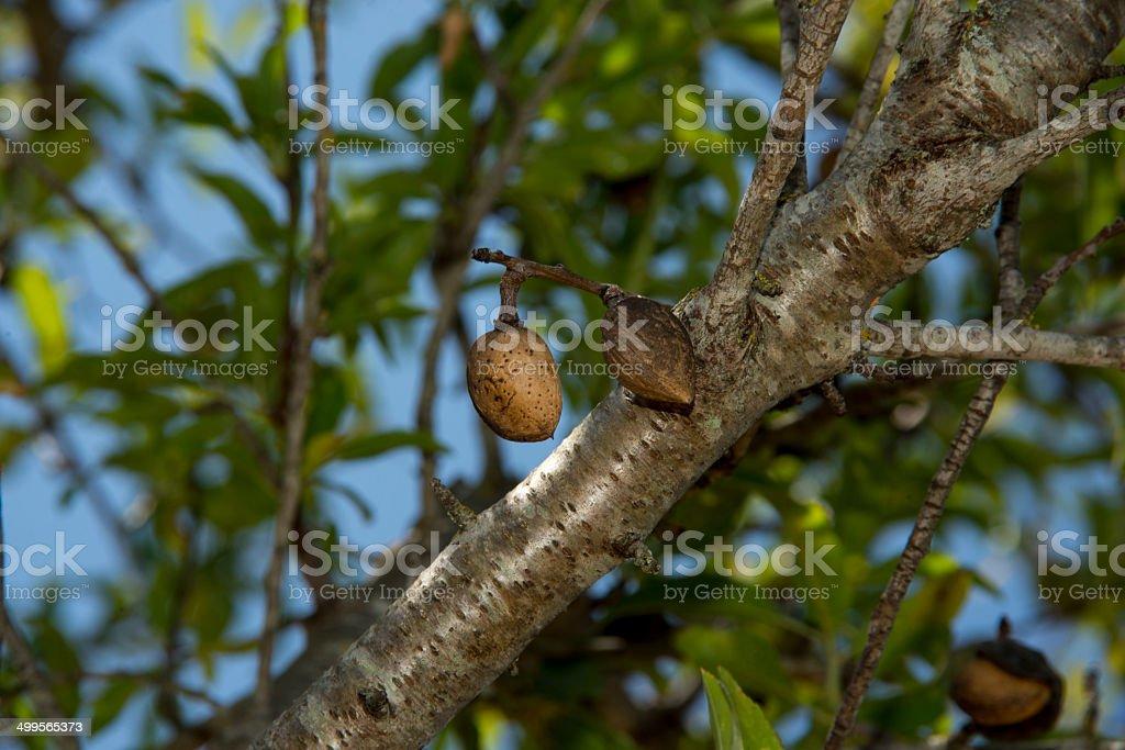 Ripe almonds on tree royalty-free stock photo