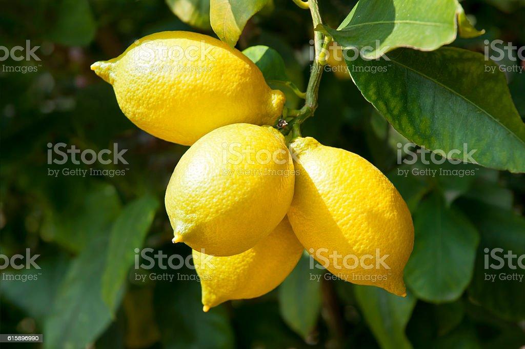 Ripe and fresh lemon on branch stock photo