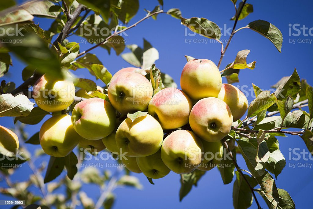 Ripe and Juicy apples from Mustang, Nepal. stock photo