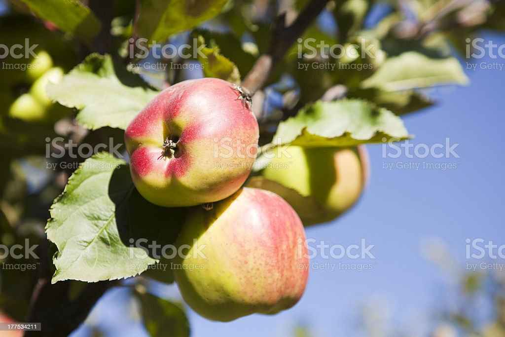 'Ripe and Juicy apples from Mustang, Nepal.' stock photo