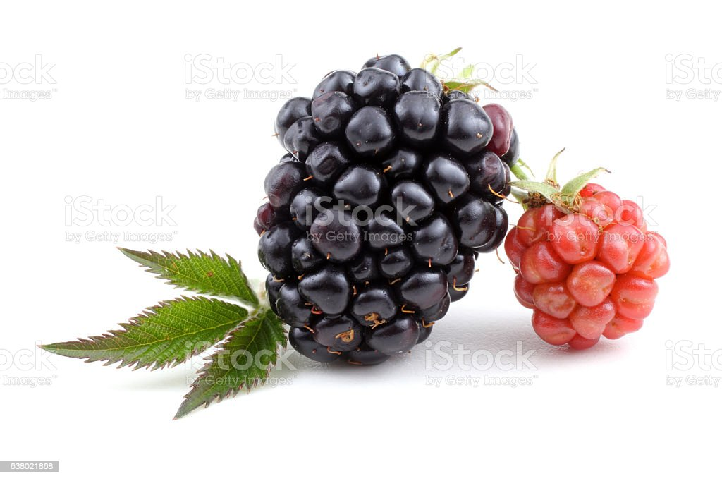 Ripe and unripe blackberries and leaf stock photo