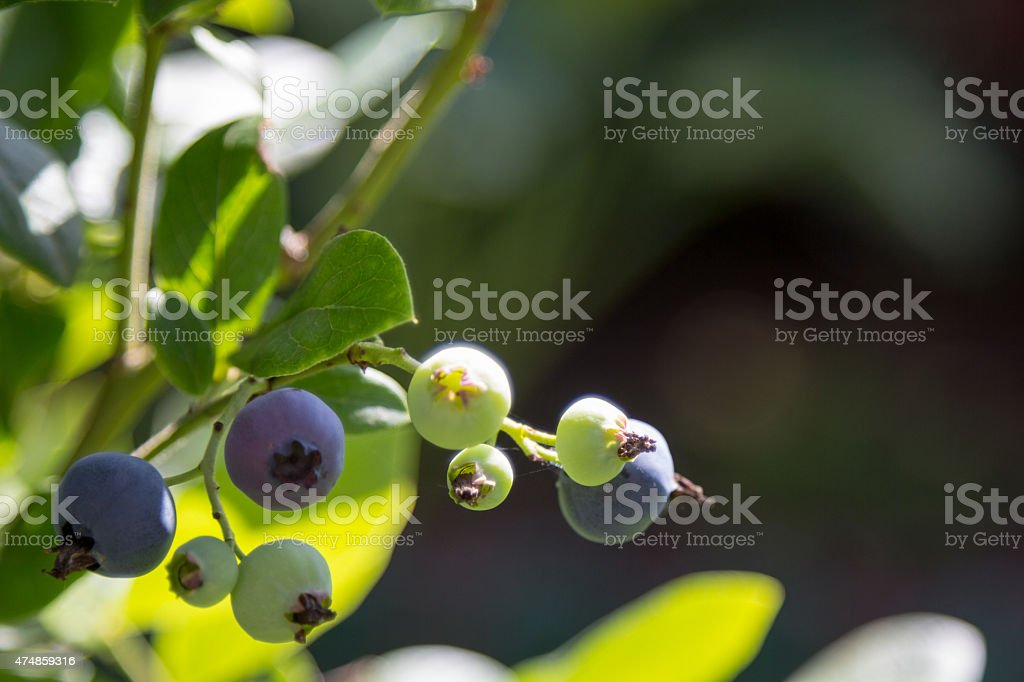 ripe and unripe blueberries on branch stock photo