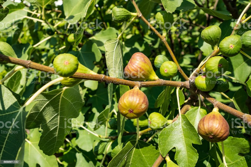 Ripe and unripe figs (Ficus carica) at a tree stock photo
