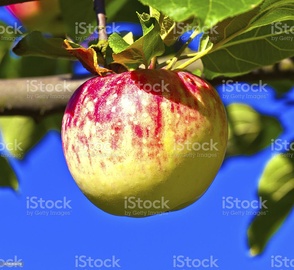 ripe apple hanging on the   tree royalty-free stock photo