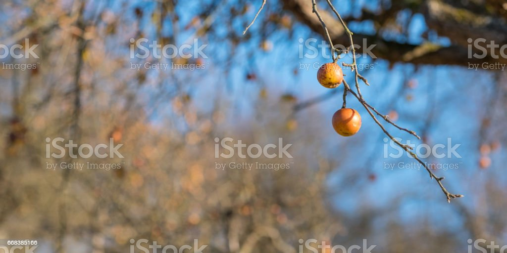 Ripe apples at a branch of a tree in winter in a orchard stock photo