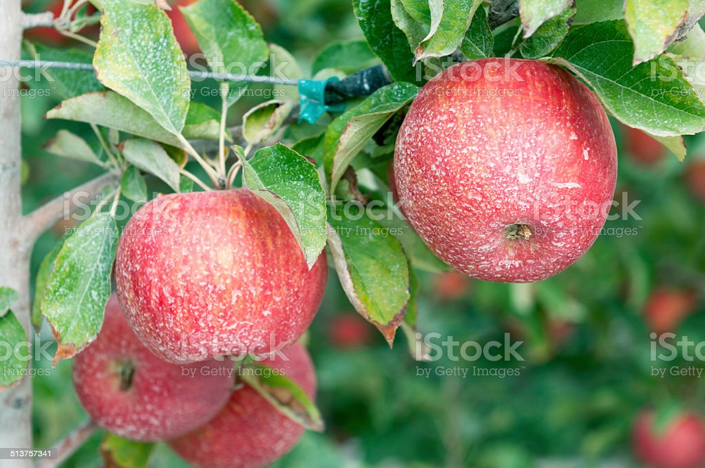 Ripe apples being harvested in Yakima Valley WA stock photo