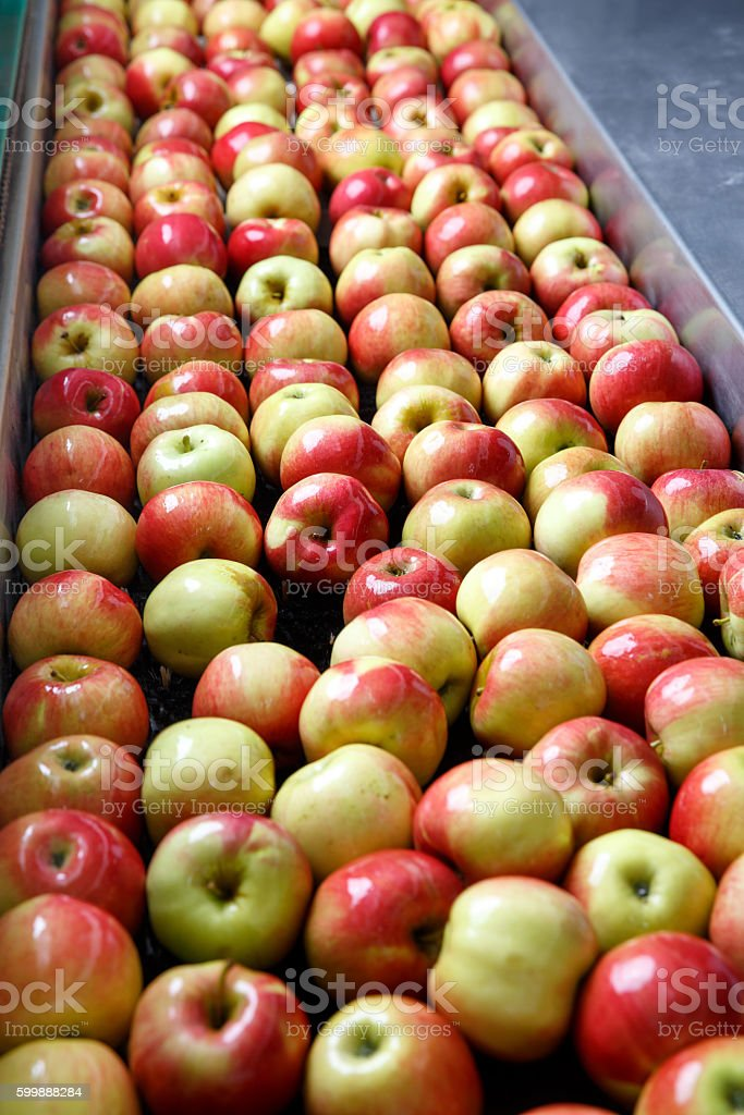 Ripe apples being processed and transported for packing stock photo