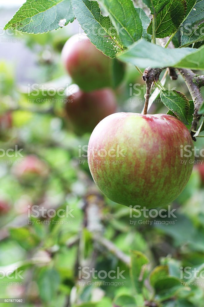 Ripe apples Hanging From A Tree stock photo