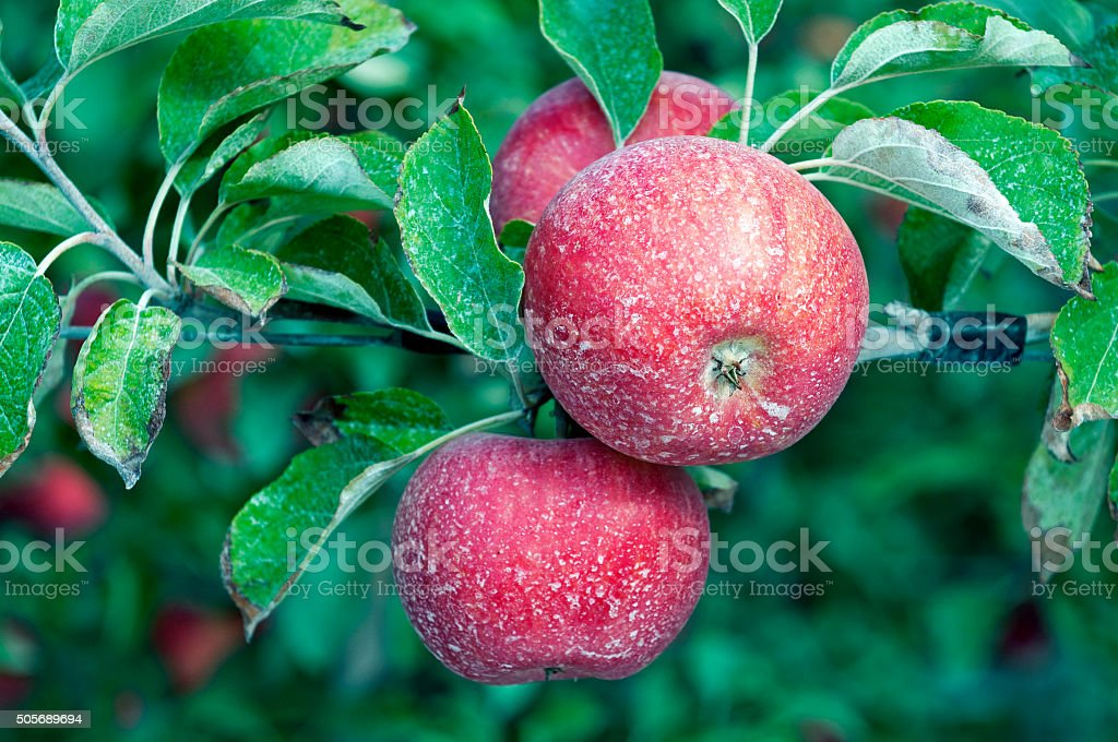 Ripe apples in Yakima Valley WA stock photo