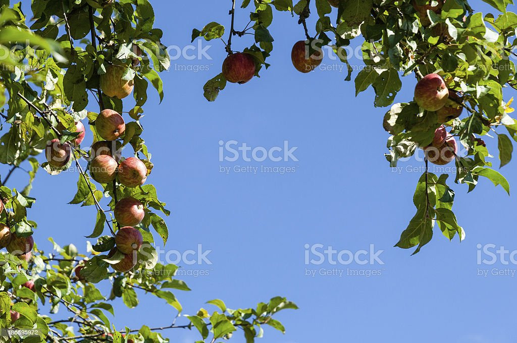 Ripe apples on a tree, blue sky as Copy Space royalty-free stock photo