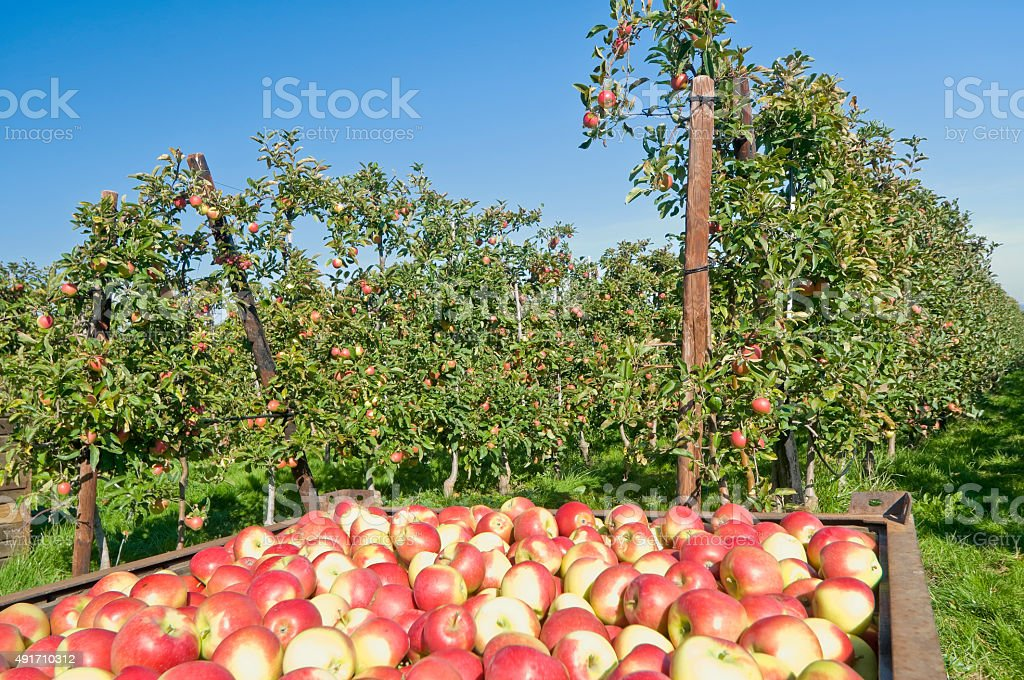Ripe apples on an apple tree plantation stock photo