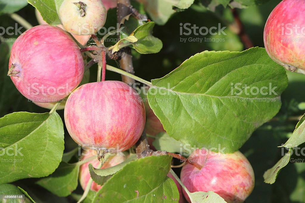 Ripe apples on branches in summer day stock photo