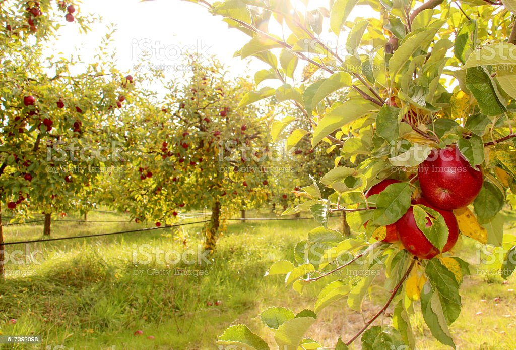 Ripe apples on the tree stock photo