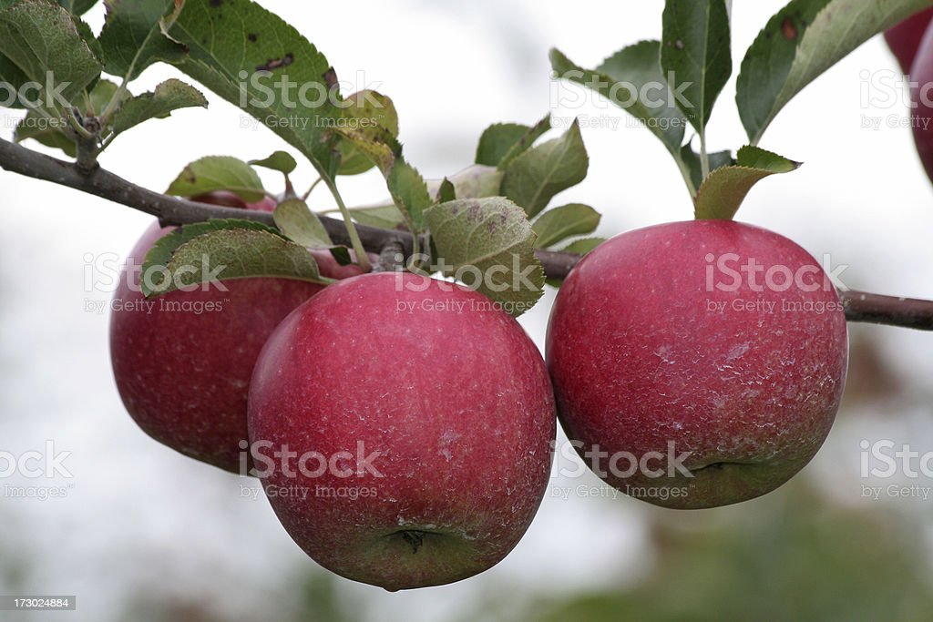 Ripe apples. royalty-free stock photo