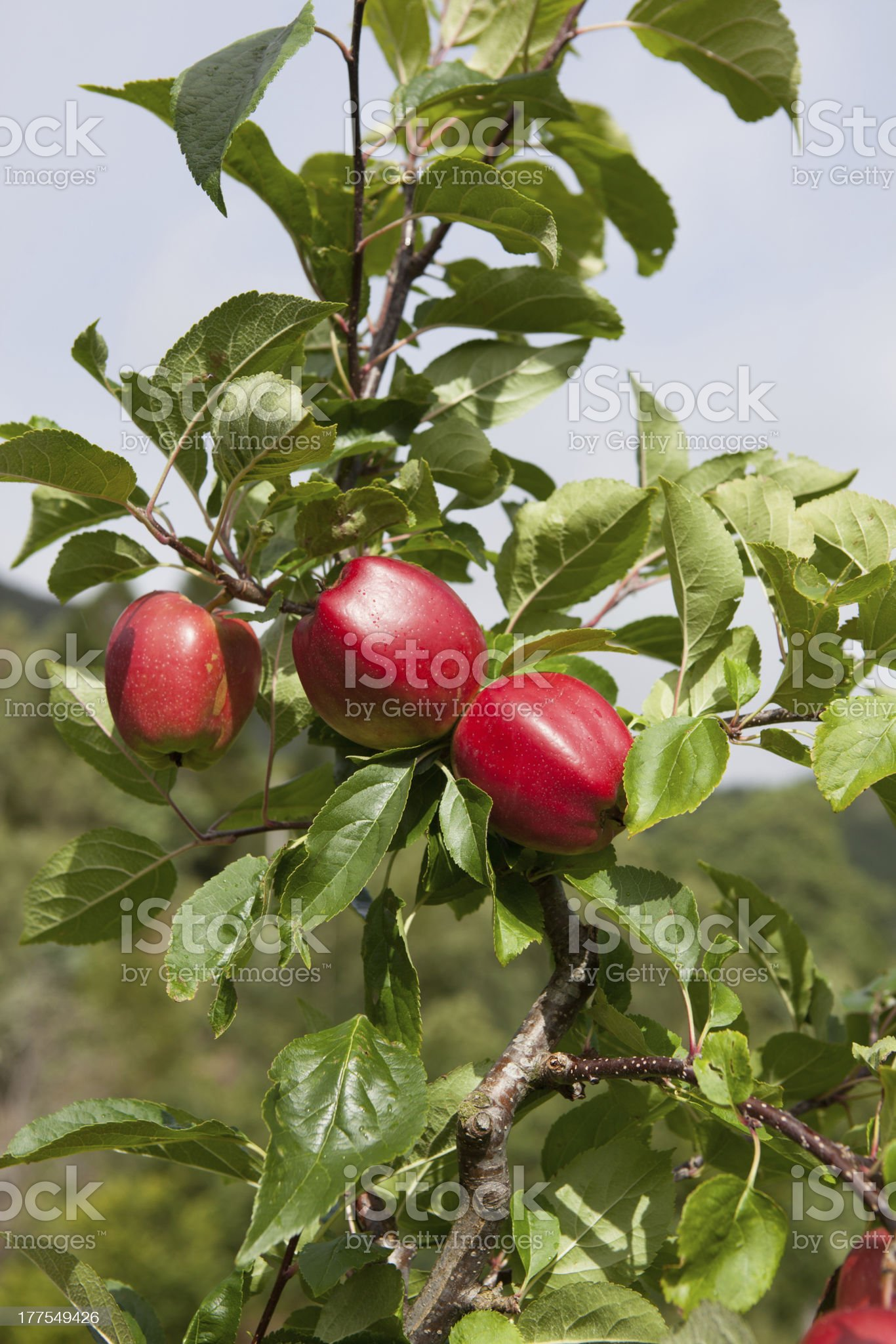 Ripe Apples royalty-free stock photo