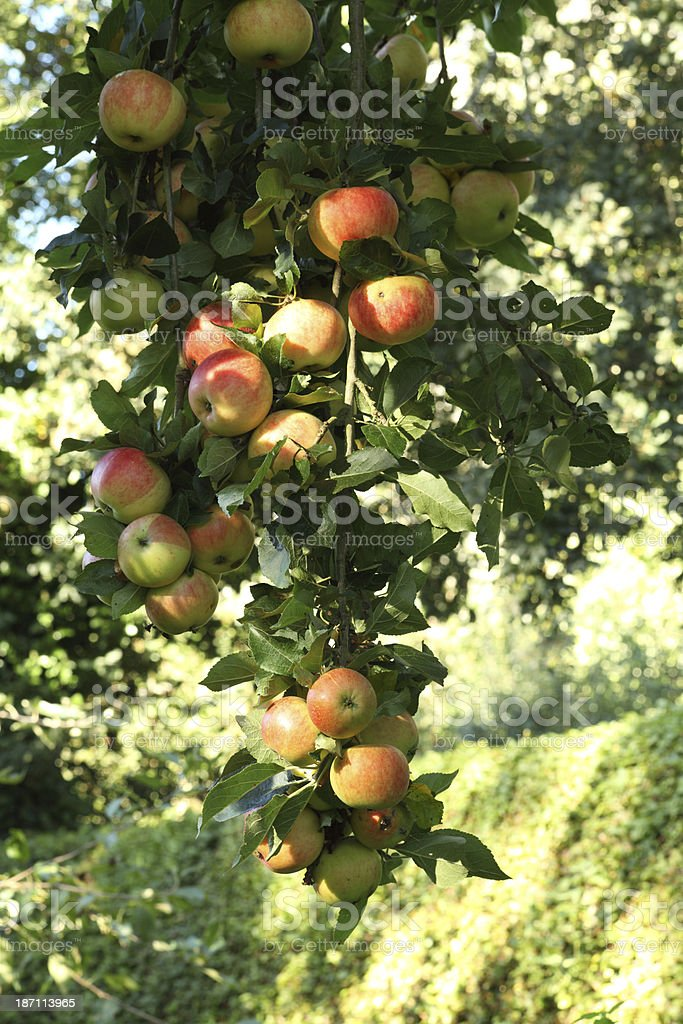 Ripe apples royalty-free stock photo