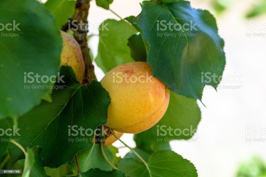 ripe apricot on branch stock photo