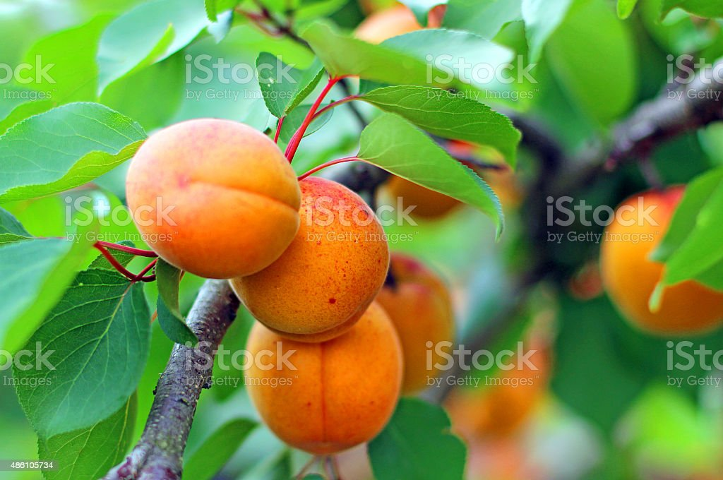 Ripe apricots grow on a branch stock photo
