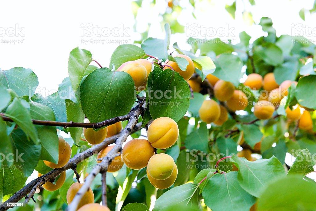 Maduro Damascos crecimiento en el árbol de albaricoque foto de stock libre de derechos