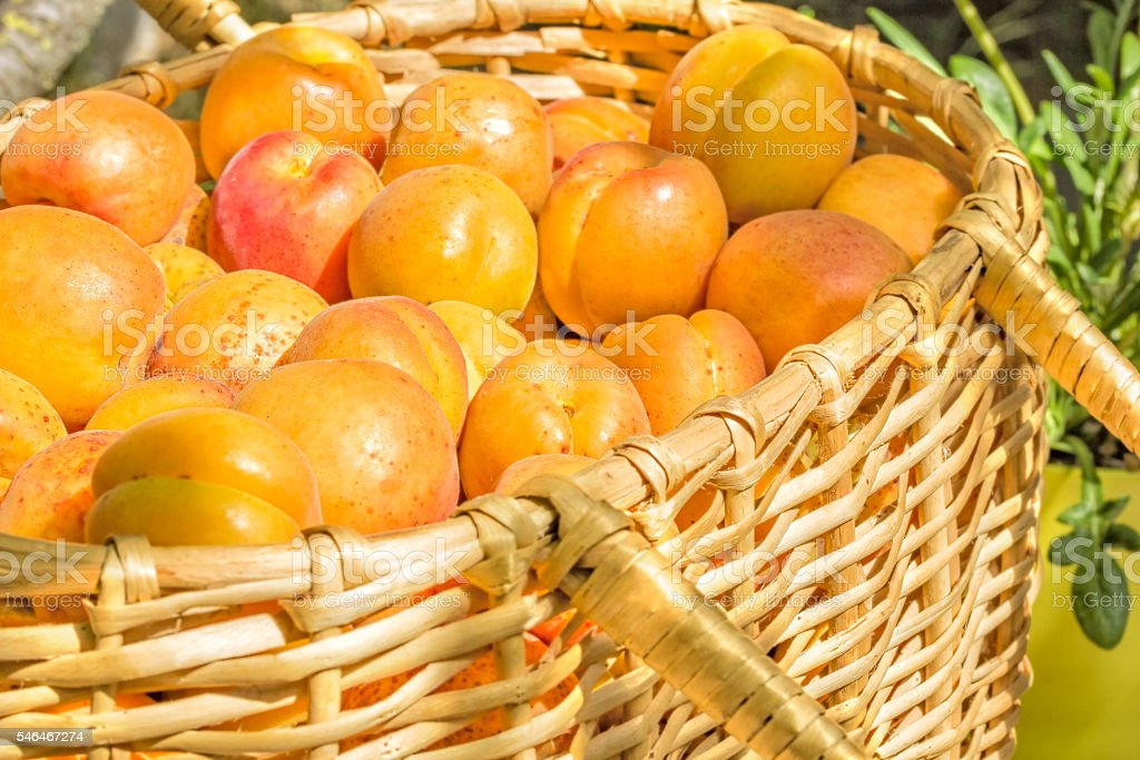 Ripe apricots in a wicker basket in the garden stock photo