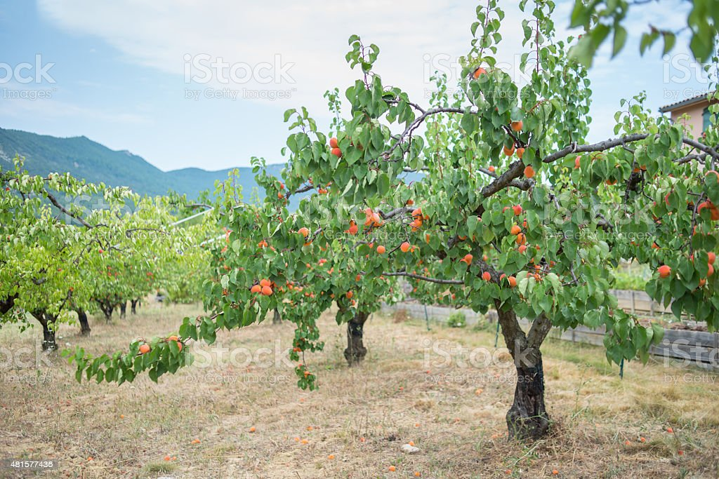 Ripe apricots in orchard stock photo