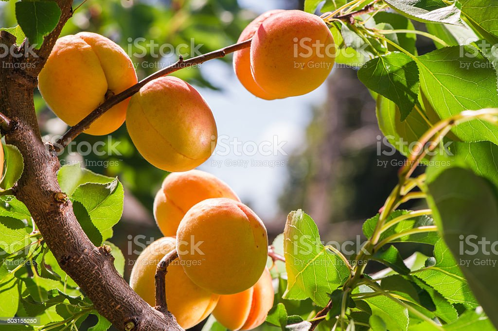 Ripe apricots on a tree stock photo