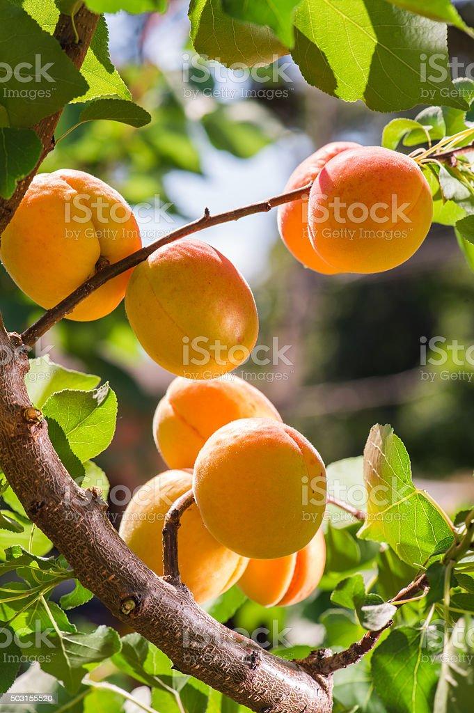 Ripe apricots on a tree stock photo