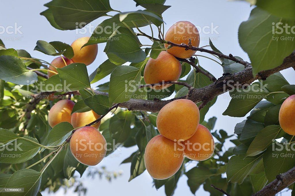 Ripe apricots stock photo