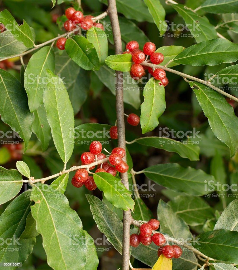 Ripe Autumn Olive Berries (Elaeagnus Umbellata) growing on a branch stock photo