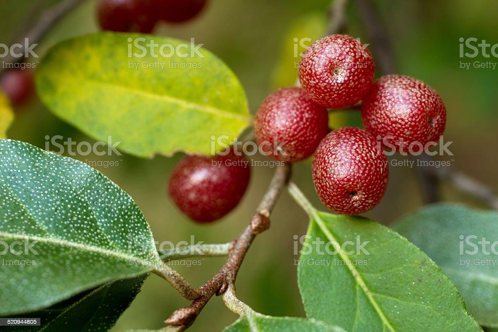 Ripe Autumn Olive Berries (Elaeagnus Umbellata) stock photo
