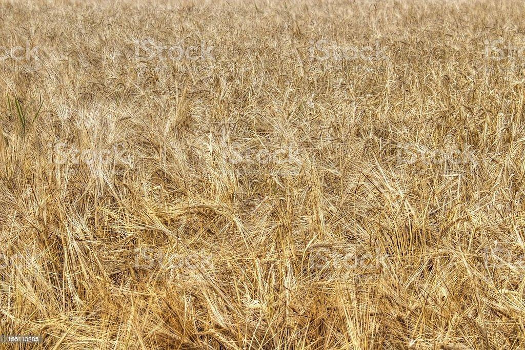 Ripe barley royalty-free stock photo