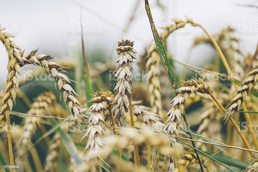 Ripe Barley royalty-free stock photo