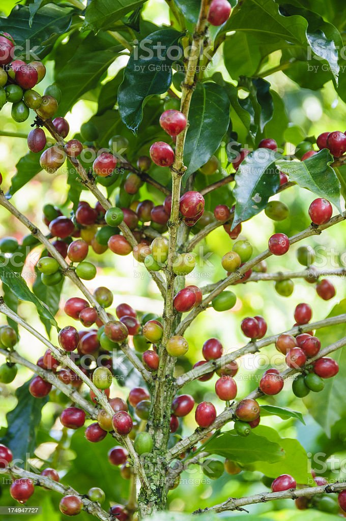 Ripe beans on a coffee plant stock photo