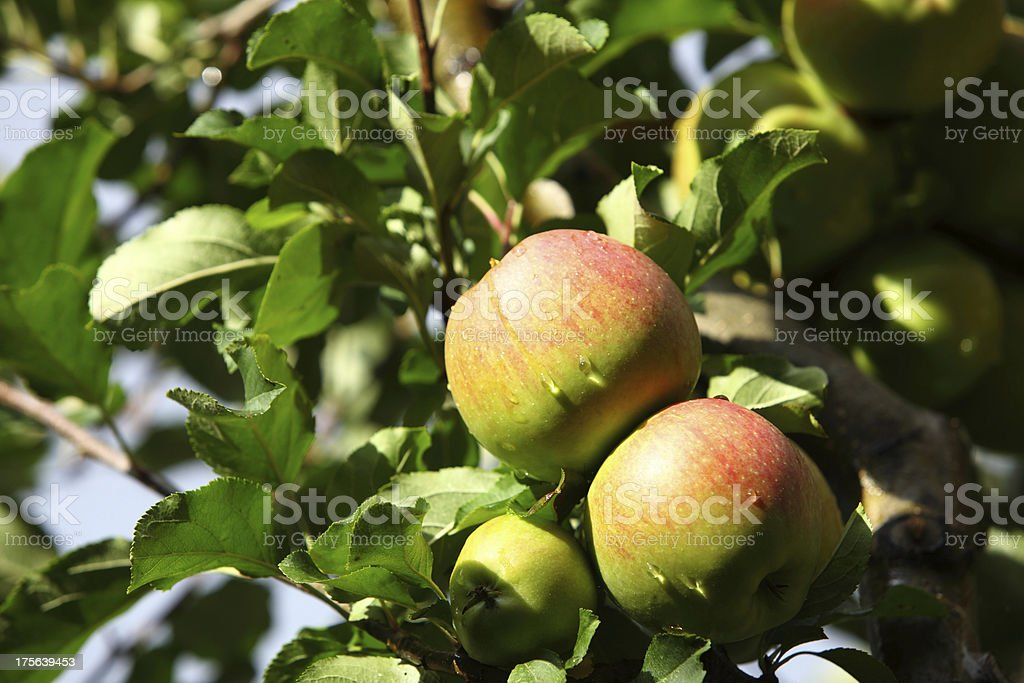 Ripe, beautiful apples on the branches of apple tree royalty-free stock photo