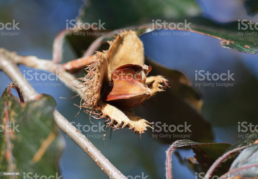 Beech nut in husk on tree in autumn stock photo