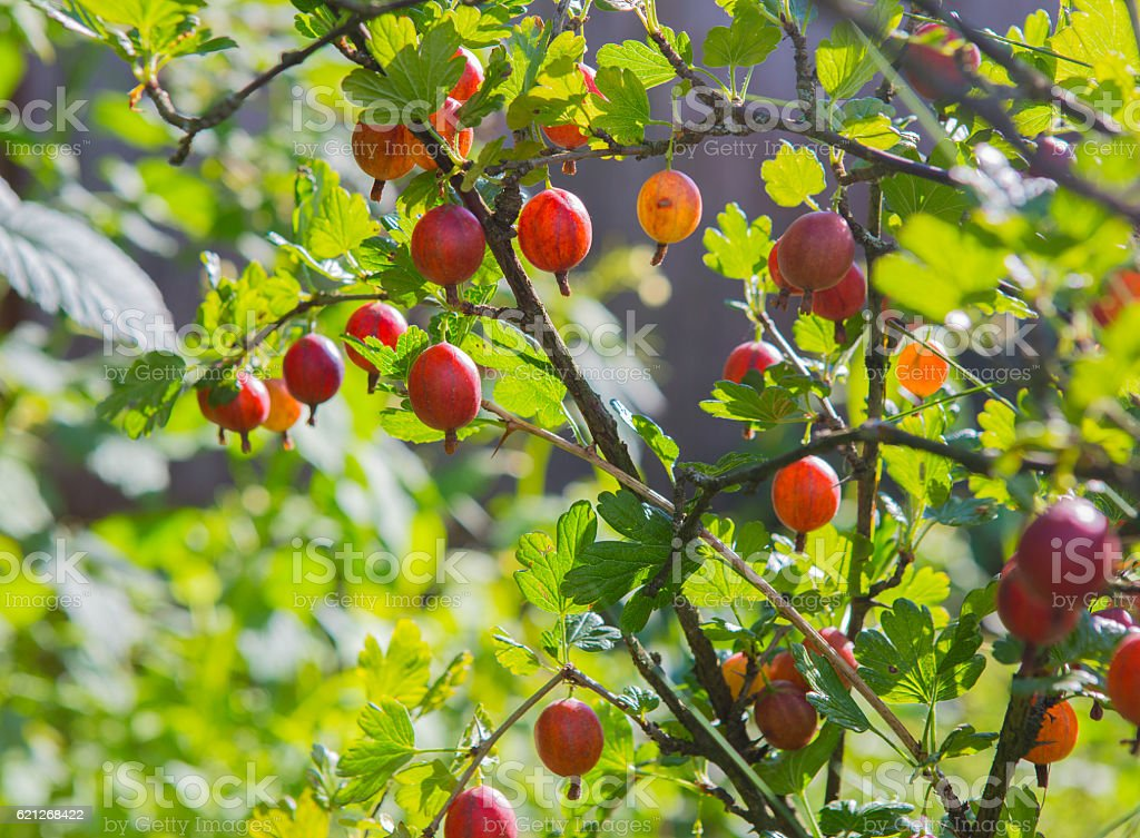 ripe berries of gooseberry on branch stock photo