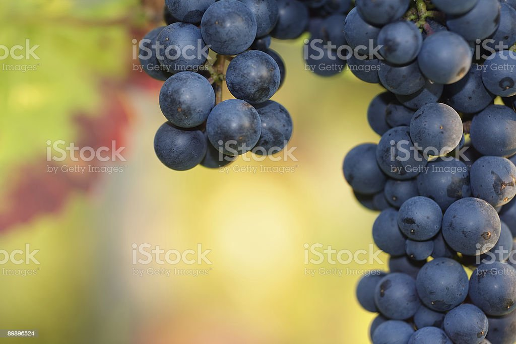 ripe black grapes royalty-free stock photo