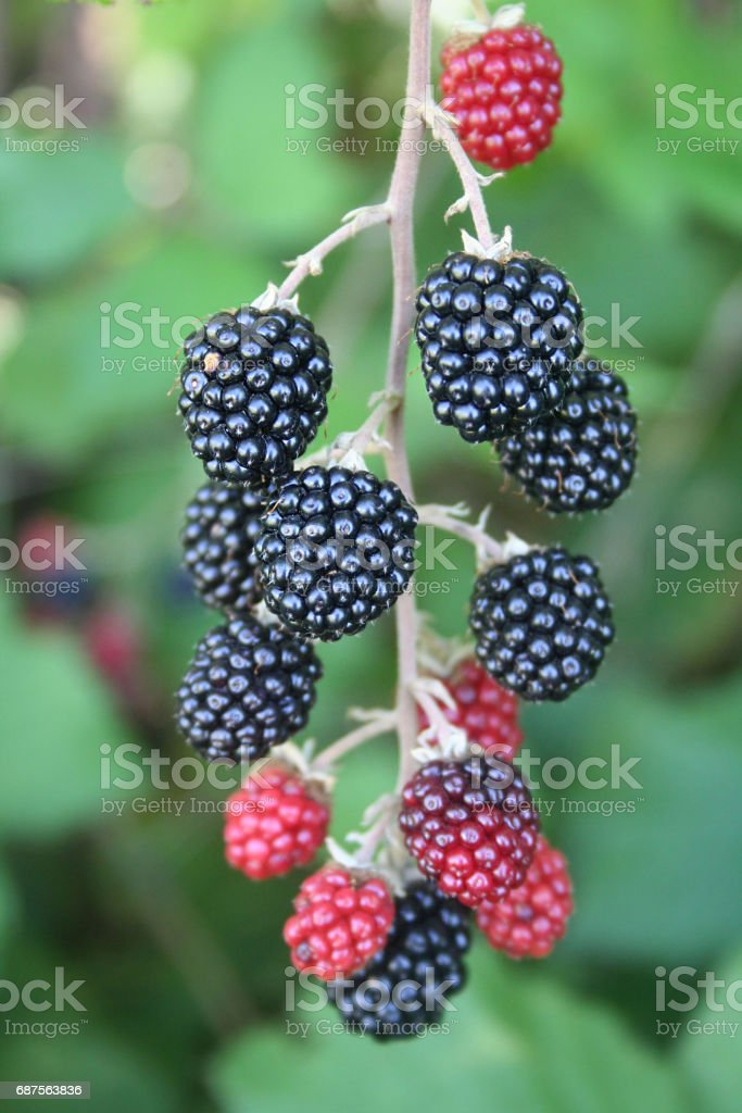 ripe blackberries on a branch. stock photo
