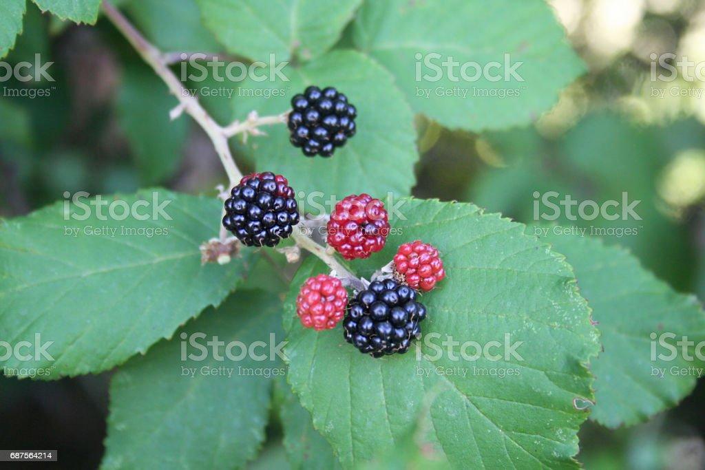 ripe blackberries on a branch stock photo