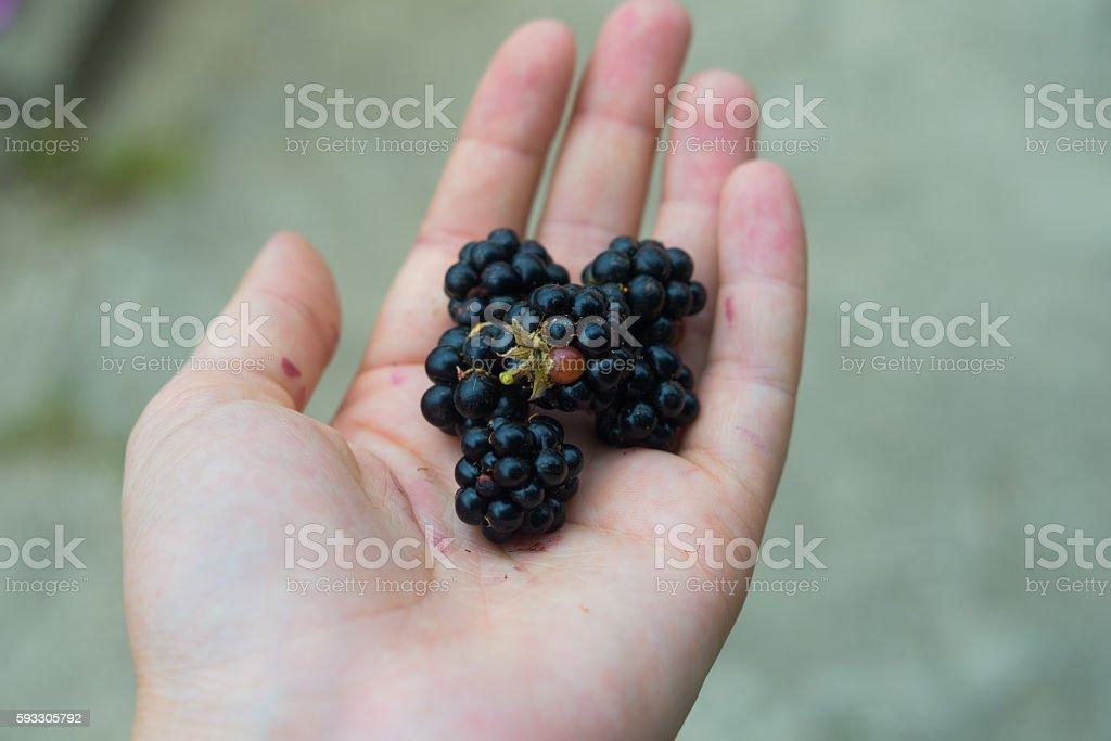 Ripe blackberry in woman hands stock photo