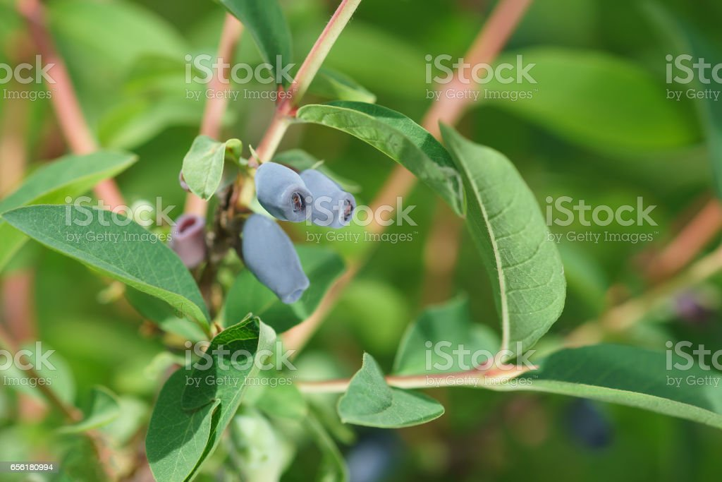 Ripe blue berries of edible honeysuckle (lat. Lonicera caerulea) on a branch with leaves stock photo