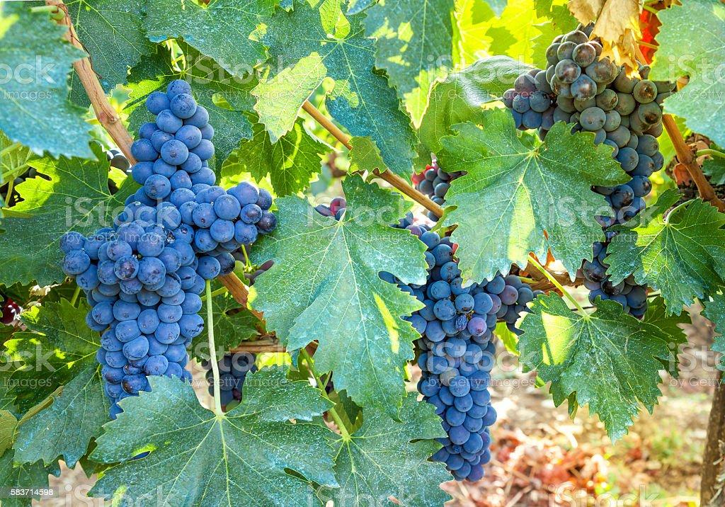 Ripe, blue vine closeup, against background of vineyard. Dark grapes. stock photo
