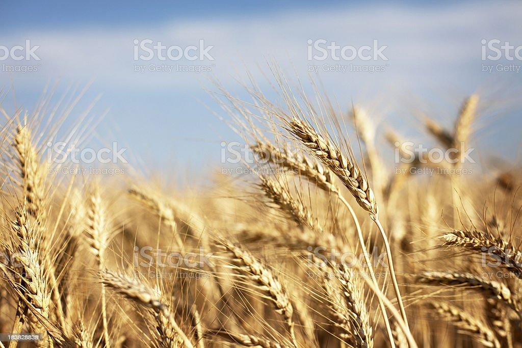 Ripe bread whole wheat field royalty-free stock photo