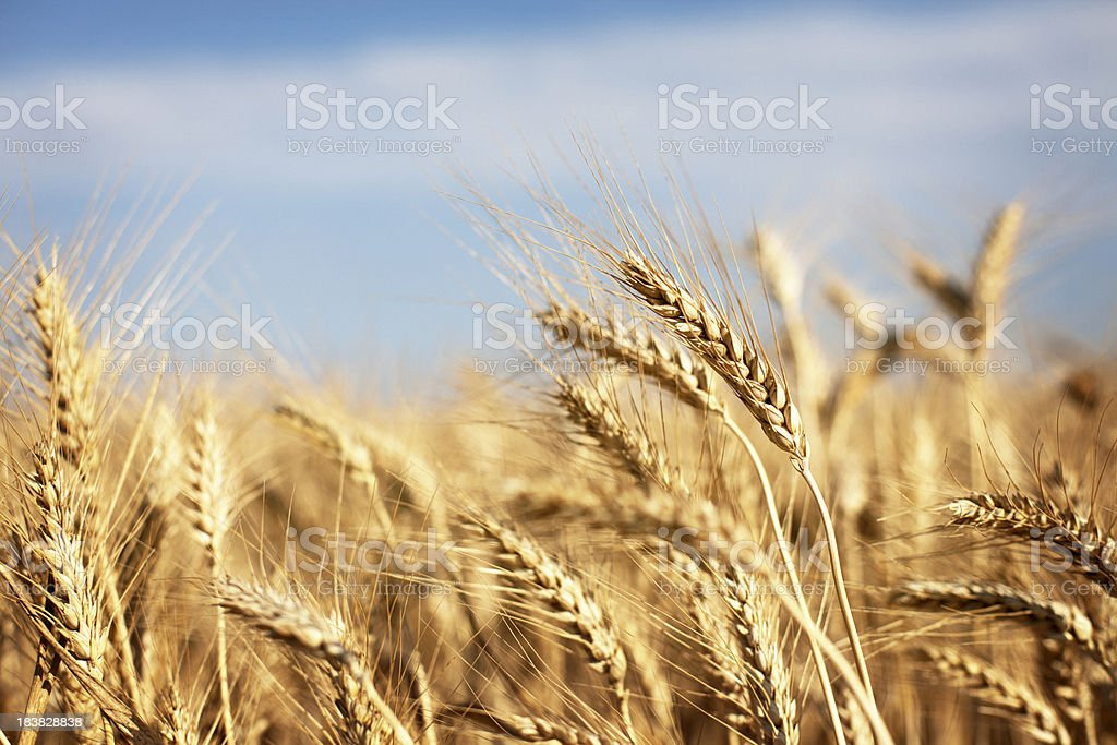 Ripe bread whole wheat field stock photo