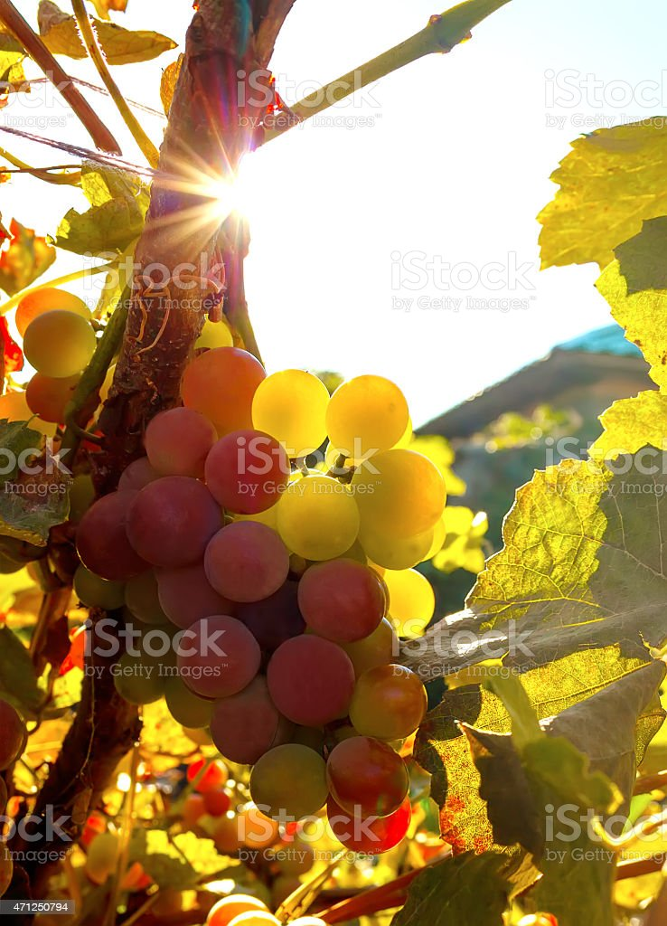 Ripe bunch of grapes stock photo