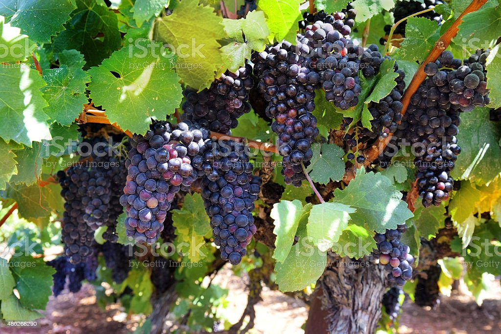 ripe bunches of sweet red grapes Isabella stock photo